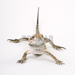 Bartagame (Pogona vitticeps) - Bearded Dragon (Pogona vitticeps)