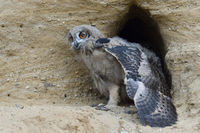stretching its body and wings before getting active... Eurasian Eagle Owl *Bubo bubo*