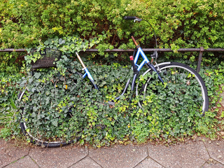 Ein von Efeu überwachsenes Fahrrad