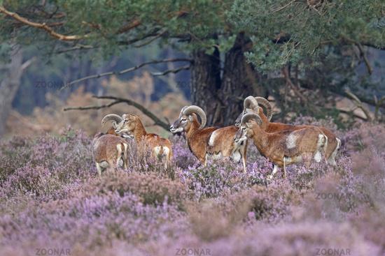 European Mouflon (Ovis orientalis musimon), Hoge Veluwe National Park, Netherlands, Europe