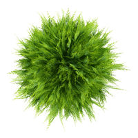 top view of thuja plant isolated on white background