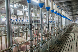 Pigs at a factory