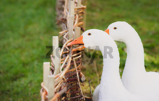 White goose biting a fence