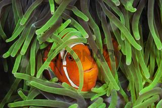 Stachel-Anemonenfisch, Indonesien