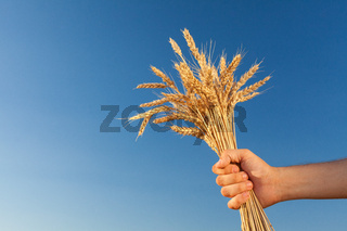 wheat field . harvesting.  harvest in the . Man holds a ripe  .   against  blue sky.   in the . closeup.
