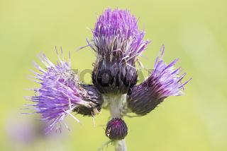 Distel Blüte