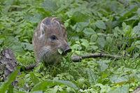 Wild boar (Sus scrofa), shote, Schleswig-Holstein, Germany, Europe