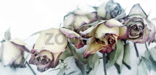 faded roses concept