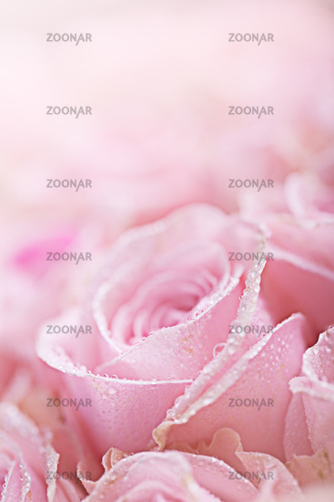 Pink Roses with Dew
