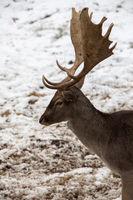 Fallow deer in winter 1 of 3