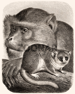 Barbary macaque (Macaca sylvanus), mouse lemur (Microcebus)