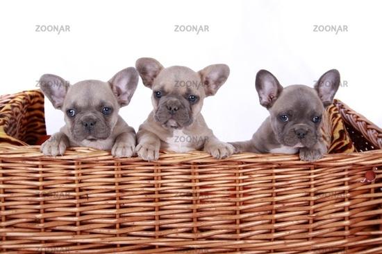 french bulldogge puppies