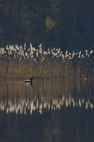 mirrorin... Black-Throated Loon *Gavia arctica* swimming in front of reeds on calm water