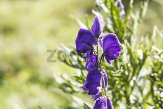 Aconitum, Eisenhut - Eine Heilpflanze