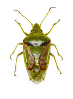 Juniper Shield Bug on white Background  -  Cyphostethus tristriatus (Fabricius, 1787)
