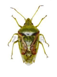 Juniper Shield Bug on white Background  -  Cyphostethus tristriatus (Fabricius, 1787)