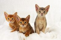 ABYSSINIAN CAT, RUDDY, WILDLOOKING, BLUE, SORREL, KITTEN, LITTER,