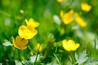 yellow buttercup in green grass