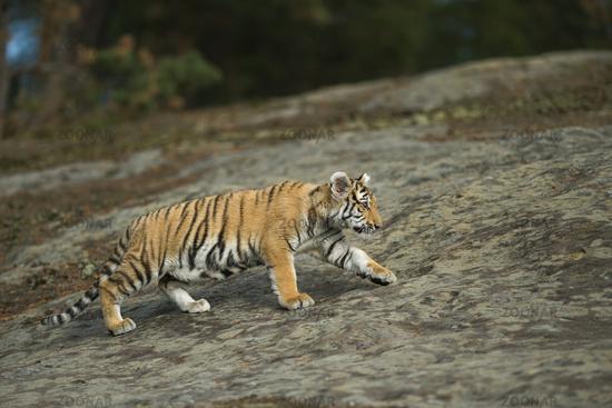 strolling through its habitat... Royal Bengal Tiger *Panthera tigris*