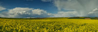 Storm clouds over a canola field