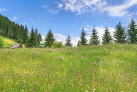 Field with flowers and fir forests in summer