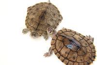 Two turtles on white background