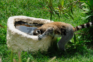 Ring-tailed Lemur drinks the water