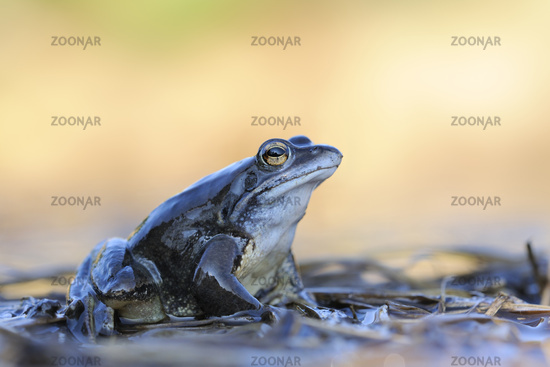 sitting on flotsam... Moor Frog *Rana arvalis*