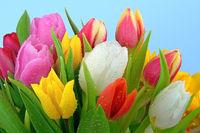 Tulpenstrauss mit Tau / Tulips with dewdrops