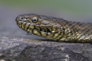 Wuerffelnatter, Natrix tessellata, dice snake