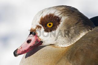 Nilsgans, Alopochen aegyptiacus, Egyptian Goose