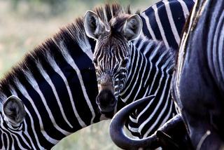 Zebrababy in Suedafrika
