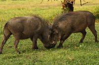 Fighting Warthogs