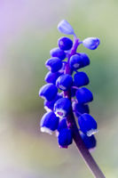 Grape hyacinth - Muscari