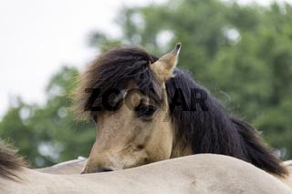 Stirnschopf, wild lebende Pferde im Merfelder Bruch, Dülmen, Nordrhein-Westfalen, Juni,