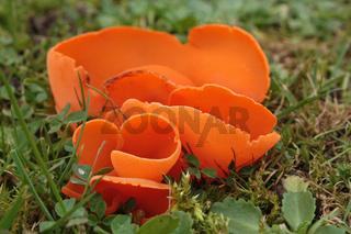 Der Orangebecherling