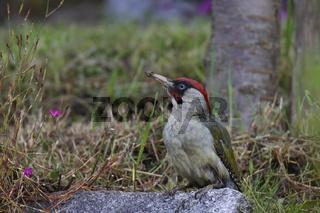 Gruenspecht - Maennchen, Picus viridis, European green woodpecker - male