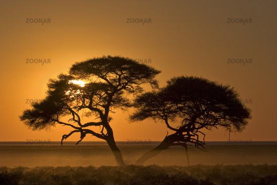 Schirmakazie, Akazie (Acacia tortilis) im Sonnenaufgang, Etosha National Park (Etoscha National Park), Namibia, Afrika, Umbrella Thorn Acacia, Africa