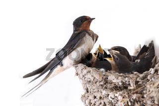 Rauschwalbe am Nest mit Kueken