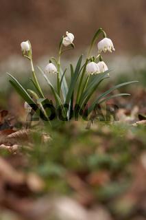 Maerzbecher, Fruehlings-Knotenblume, Leucojum vernum, Spring snowflake, Loddon lily