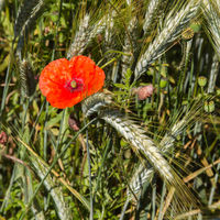 corn poppy or headwark, Papaver rhoeas