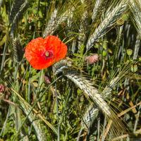corn poppy or headwark, Papaver rhoeas