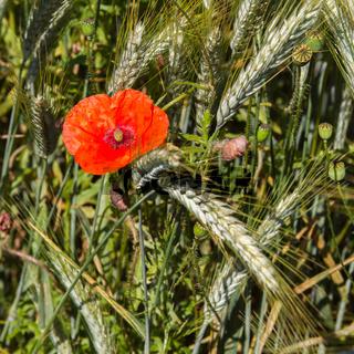 Mohnblume im Getreidefeld 3