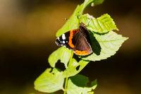 Monarch butterfly sitting on leaf