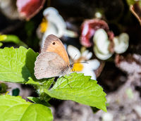 Aphantopus hyperantus, brown ringlet butterfly on a purple flower