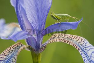 Grünes Heupferd Larve / Great green bush-cricket / Tettigonia viridissima
