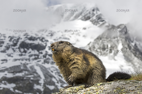Alpine Marmot (Marmota marmota) with Grossglockner, Hohe Tauern National Park, Kaernten, Austria, Eu