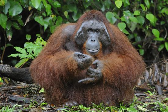 Borneo-Orang-Utan male / Orangutan / Pongo pygmaeus