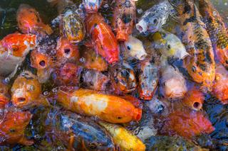 colored decorative china carps koi in pool