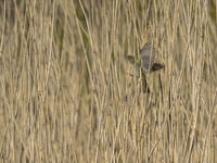 Approach for landing (Rock pipit)